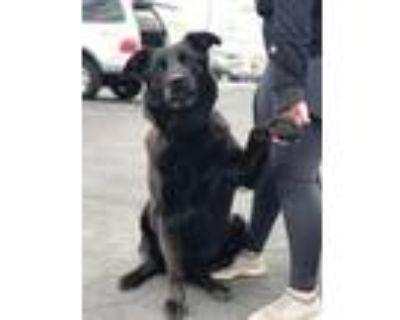 Adopt Fudge a Shepherd, Labrador Retriever