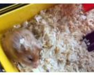 Adopt Blush a Hamster small animal in Portsmouth, VA (31745920)