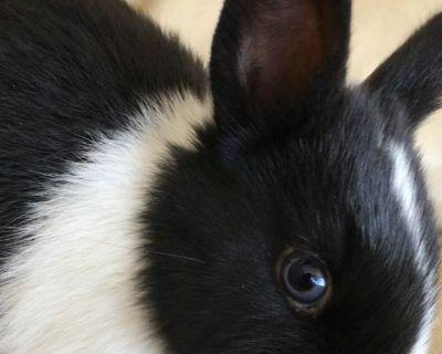 Durch dwarfs rabbits bunnies Dutch dwarf bunny rabbit