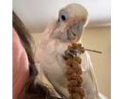 Adopt Tommy a Cockatoo