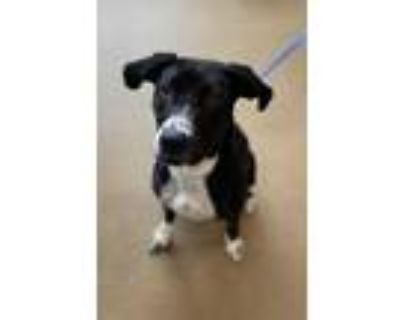 Adopt Bunny a Black Mixed Breed (Large) / Mixed dog in Anderson, SC (31798327)