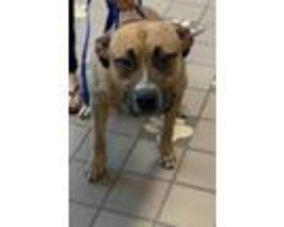Adopt Puppy a Tan/Yellow/Fawn American Pit Bull Terrier / Mixed dog in Burleson