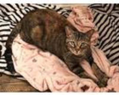 Brittany, Domestic Shorthair For Adoption In Mansfield, Texas