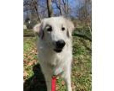Adopt Astro a White Great Pyrenees / Mixed dog in Falls Church, VA (31692961)