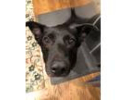 Adopt Jet a Black Labrador Retriever / Basset Hound / Mixed dog in Olathe