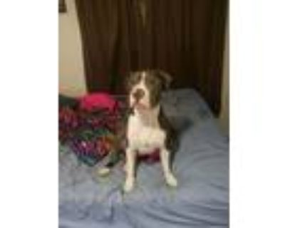 Adopt Snoopy a Hound, American Bully