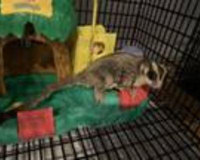 Adopt Gizmo a Sugar Glider