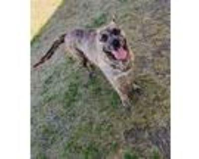 Adopt *BANZAI a Brindle Mixed Breed (Medium) / Mixed dog in Bakersfield