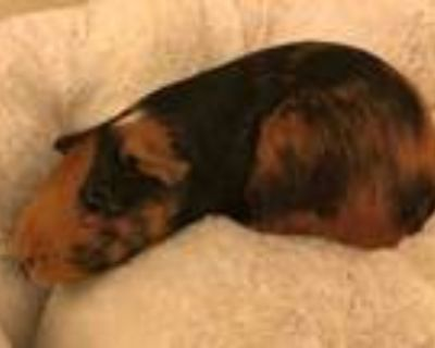 Adopt MAGGIE MAY a Guinea Pig