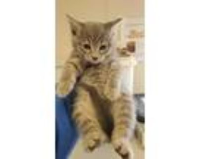 Adopt MARCO a Gray or Blue Domestic Shorthair / Mixed (short coat) cat in