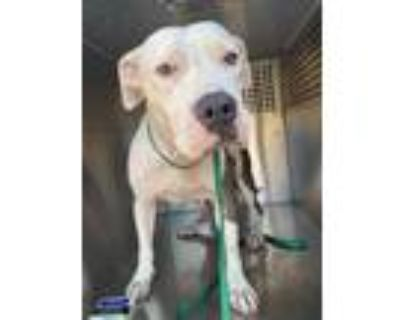 Adopt ELLE a White - with Gray or Silver American Pit Bull Terrier / Mixed dog