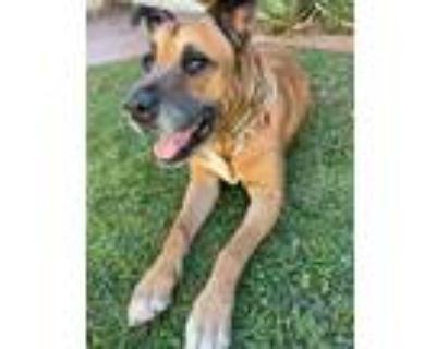 Adopt Jake a Brown/Chocolate - with Black Labrador Retriever / Shepherd (Unknown