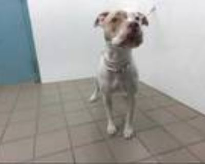 Adopt LUNA a Brindle - with White American Pit Bull Terrier / Mixed dog in