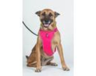 Adopt Qeeny a Tan/Yellow/Fawn - with Black German Shepherd Dog / Boxer / Mixed