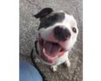 Adopt BISHOP a Pit Bull Terrier