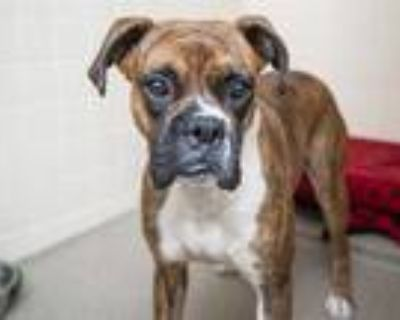 Adopt BOWSER a Brindle - with White Boxer / Mixed dog in Phoenix, AZ (31626807)