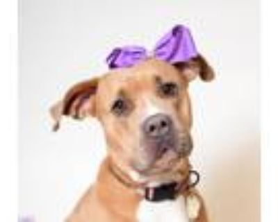 Adopt Dolly/ Tinkerbell a Cane Corso / Mixed dog in Springfield, OH (31635534)