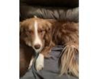 Adopt Branton a Brown/Chocolate - with White Border Collie / Mixed dog in
