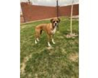 Adopt Bonnie a Tan/Yellow/Fawn - with White Boxer / Mixed dog in Cheyenne
