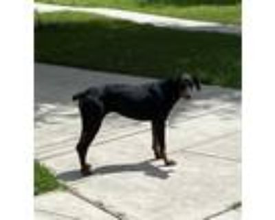 Adopt ELENORE a Black - with Tan, Yellow or Fawn Doberman Pinscher / Mixed dog
