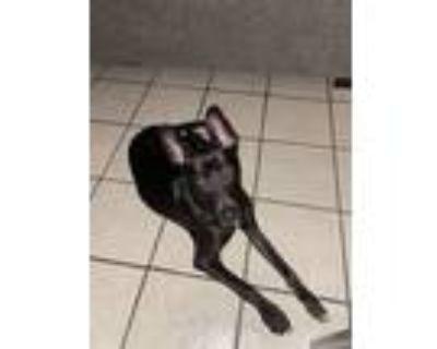 Adopt Mei a Black Labrador Retriever / Mixed dog in El Paso, TX (31216029)