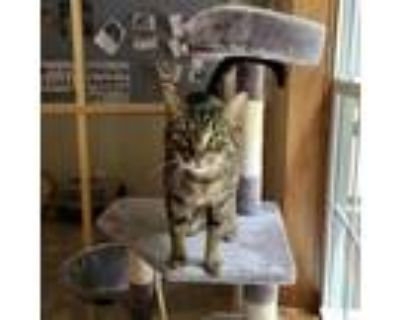 Adopt Penny a Brown or Chocolate Domestic Shorthair / Mixed cat in Fairfax