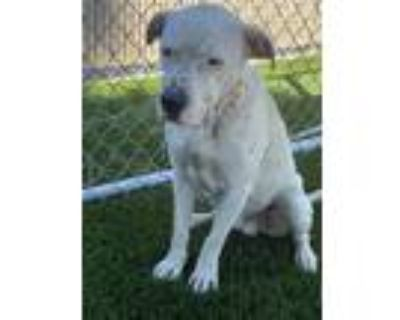 Adopt LOKI a White American Pit Bull Terrier / Mixed dog in Downey