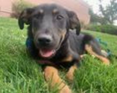 Adopt Benny a Shepherd (Unknown Type) dog in Denver, CO (31943999)