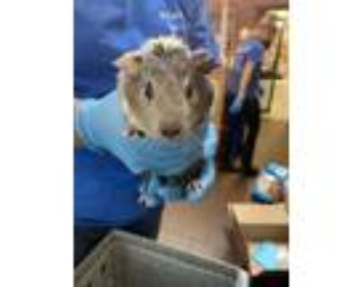 Adopt Happy a Silver or Gray Guinea Pig / Mixed small animal in Washington