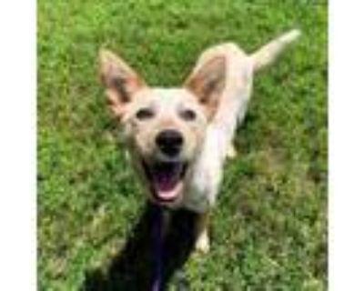 Adopt Nala a Australian Cattle Dog / Blue Heeler, Mixed Breed