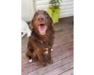 Adopt George a Brown/Chocolate Golden Retriever / Labrador Retriever / Mixed dog
