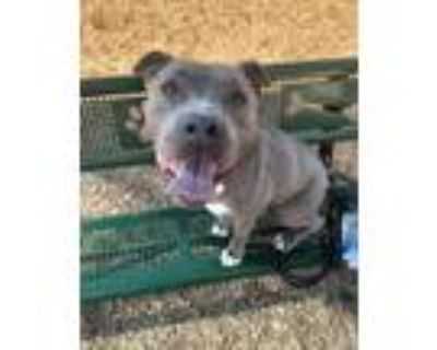 Adopt STRYPER a Gray/Silver/Salt & Pepper - with White American Pit Bull Terrier