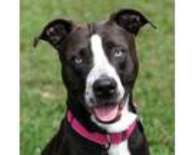 Adopt Selena Gomez a Pit Bull Terrier, Mixed Breed