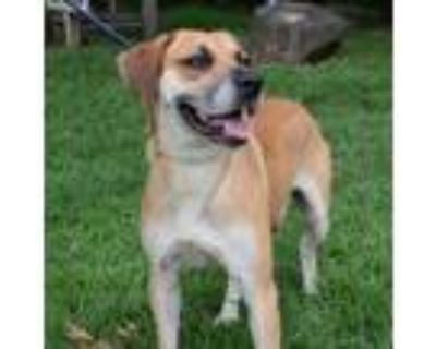 Adopt Charlie a Tan/Yellow/Fawn Shepherd (Unknown Type) / Labrador Retriever /