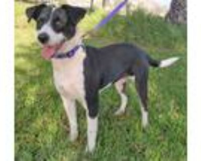Adopt CHELSEY a Border Collie