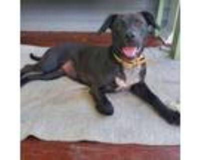 Adopt Macy a Labrador Retriever