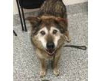 Adopt Nelson a Siberian Husky / Mixed dog in Golden, CO (32133235)