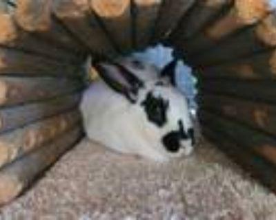 Adopt SUNSHINE a White Blanc de Hotot / Mixed rabbit in San Luis Obispo