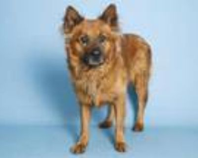 Adopt KIZZLE a Red/Golden/Orange/Chestnut - with Black Chow Chow / Mixed dog in