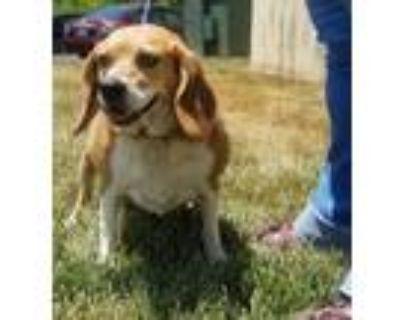 Adopt Liliana a Beagle