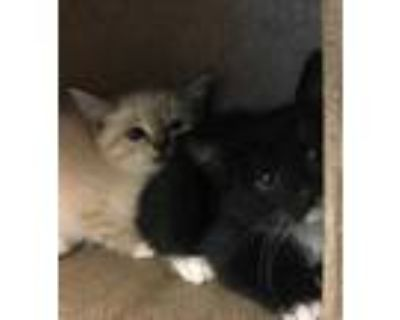 Adopt 48227232 a Gray or Blue Siamese / Domestic Shorthair / Mixed cat in Los