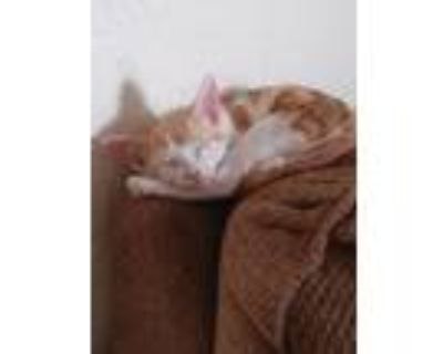 Adopt Ace a Devon Rex, Domestic Short Hair