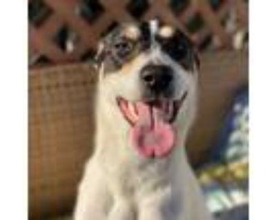 Adopt Leeya a Pointer, Labrador Retriever