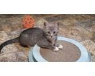 Adopt Kitten 21802 a Tabby
