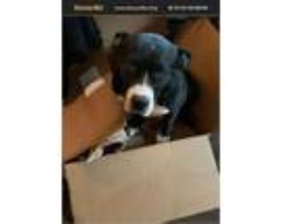 Adopt Runner a Black - with White Boxer / American Staffordshire Terrier / Mixed