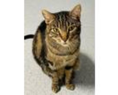 Adopt Surfer a Brown Tabby Domestic Shorthair / Mixed (short coat) cat in