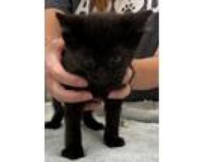 Adopt Jazz a All Black Domestic Shorthair / Domestic Shorthair / Mixed cat in