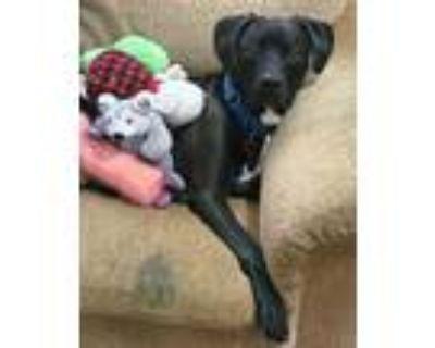 Adopt Gunner a Black Labrador Retriever