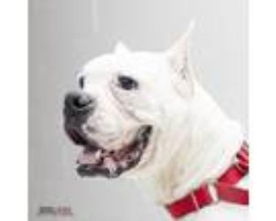 Adopt Mayweather a White Boxer / Mixed dog in Indianapolis, IN (31796758)