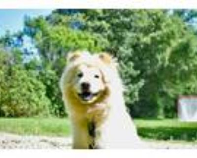 Adopt Daisy a White - with Tan, Yellow or Fawn Chow Chow / Mixed dog in Houston